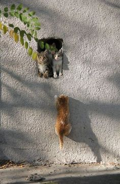 Are these the most beautiful cats in the world? Cute Kittens, Cats And Kittens, Kittens Playing, Animals And Pets, Baby Animals, Funny Animals, Cute Animals, Funny Cats, Pretty Cats