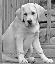 Black and White Photograph YELLOW LABRADOR by overthefenceart