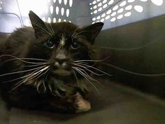 """STAGGI - A1038274 - - Manhattan  ***TO BE DESTROYED 06/05/15*** """"FRIENDLY"""" SWEET SENIOR BOY HAS A GREAT BEHAVIOR RATING, BUT WILL DIE BECAUSE HE SNEEZED – PLEASE GRANT STAGGI A DEATH ROW PARDON!!! Handsome ten-year-old senior boy STAGGI, slung into the kill-happy ACC as a """"FRIENDLY"""" STRAY gent, has the cutest white blaze between his eyes and luxurious white whiskers! His finder said, """"I THINK HE WAS SOMEONE'S PET"""", so why didn"""