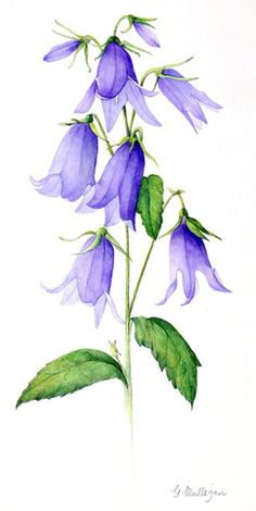 Non-profit organisation which aims to foster and promote the development of botanical art nationwide and to bring together people who have a love of plants. Botanical Art, Botanical Illustration, Watercolor Illustration, Watercolor Paintings, Botanical Flowers, Watercolours, Watercolor Flowers Tutorial, Floral Watercolor, Watercolour Flowers