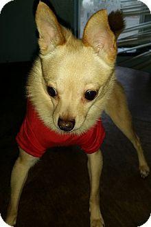 Detroit, MI - Pomeranian/Chihuahua Mix. Meet Milo, a dog for adoption. http://www.adoptapet.com/pet/12019754-detroit-michigan-pomeranian-mix
