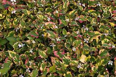 "houttuynia cordata - up to 15"", shade, wet soil"