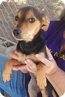 Santa Rosa, CA - Rat Terrier/Jack Russell Terrier Mix. Meet Sarah, a dog for adoption. http://www.adoptapet.com/pet/16819266-santa-rosa-california-rat-terrier-mix