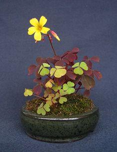 Kusamono Oxalis in flower. Kusamono zijn dwergplantjes in miniatuurschaaltjes en horen typisch bij bonsaiboompjes