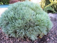Dwarf Eastern White Pine is an evergreen conifer displaying soft delicate blue-green needles on a compact shrub.  Pinus strobus 'Nana' is hardy to zones 3-9, prefers full sun and a moderately moist slightly acidic soil.  Dwarf Eastern White Pine is slow growing reaching an eventual 3 feet tall by 4- 6 feet wide and is deer resistant.  This conifer goes beautifully just about anywhere whether it be a formal or informal garden.  This one is positioned by a poolscape.