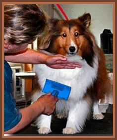 Collie grooming collies pinterest collie dog and animal pet grooming can be expensive if you want to try your hand at grooming your pet yourself try these tips to help make it a more pleasurable and safe solutioingenieria Images