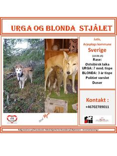 STJÅLET : Jutis, Arjeplogs kommune,Sverige (13.08.15)  NAVN : Urga . . RASE : Østsibirsk laika . . KJØNN : Tispe . . ALDER : 7 mnd. . .  NAVN: Blonda . . RASE: Østsibirsk laika . . Kjønn: Tispe . . Alder: 3 år . .  VEKT : . . CHIP : . . BÅND : . . POLITI/FALCK/VIKING : Politi og toll varslet . .  Dusør utloves !!  KONTAKT : +46702789011 . . HJERTEkontakt : Lucia: ( 47 ) 992 68 386 Anne B: ( 47) 920 20 142 . .