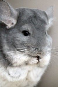Chinchilla does not know what is good or bad for himself and he will consume almost anything you give.  URL: http://chinchilla.co/  FB fanpage:  https://www.facebook.com/chinchilla.co