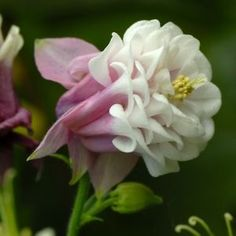 Columbine flower white with pink http://www.growplants.org/growing/columbine-flower learn how to grow  #Columbine #flower