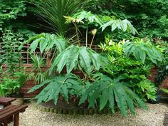 Tetrapanax papyrifer, leaves cut down by frost, grow back from ground reliably e.:separator:Tetrapanax papyrifer, leaves cut down by frost, grow back from ground reliably e. Tropical Plants Uk, Small Tropical Gardens, Small Gardens, Garden Shrubs, Shade Garden, Garden Plants, Garden Landscaping, Unusual Plants, Exotic Plants