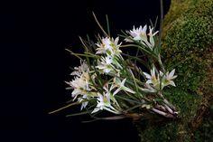 Dendrobium masarangense var. masarangense