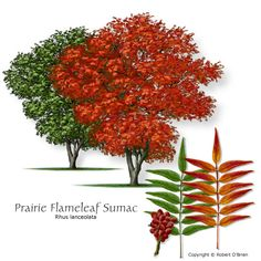 Prairie Flameleaf Sumac (Prairie Sumac), small, moderate growth, dry, bright red in fall, Root sprouts and suckers require regular maintenance to keep tree shape.