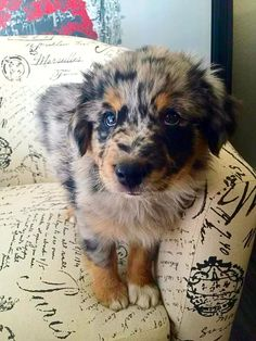 Meet Blue - Our New Mini Australian Shepherd (8 Weeks Old). follow @GalaxyCase…
