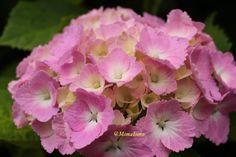 Pink Hydrangea in Hasedera temple