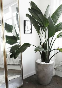 Houseplants but better: Indoor fruit trees. The list of fruit plants you can grow indoor is almost endless. We like to show you the ones that also brighten up your living. Dwarf trees make it possible to grow these fruits indoors, these are grafted from… Tall Indoor Plants, Beautiful Homes, Plant Life, Industrial Interiors, Interior, Concrete Pots, Indoor Decor, Home Deco, Large Indoor Plants