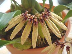 Bulbophyllum longiflorum Thouars, - Philippines, Malaysia ...