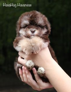 HavaHug Havanese Puppies, is a Michigan based Havanese breeder of quality Chocolate AKC Havanese Dogs. Non-shedding, Hypo-allergenic Puppies. Breeder of the Most Beautiful Chocolate Havanese! Havanese Breeders, Havanese Puppies For Sale, Teddy Bear Puppies, Havanese Dogs, Puppies And Kitties, Doggies, Dog Facts, Puppy Pictures, Dog Grooming