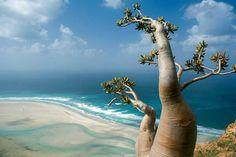 Isla Socotra 01. Esta isla en Yemen es el hogar de algunas de las plantas más raras en la Tierra. Casi un tercio de la vegetación única de esta tranquila isla SÓLO se puede encontrar aquí.