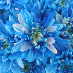Electric Blue Enhanced Flowers are a popular spray flower in the Pompom family. Its head consists of medium length petals with a center filled with compact Wedding Flower Guide, Modern Wedding Flowers, Types Of Flowers, All Flowers, Order Flowers, Spring Flowers, Beautiful Gardens, Beautiful Flowers, Beautiful Beautiful