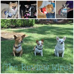 #BHC3 | Beverly Hills Chihuahua 3 Interview Plus Pups at The Event