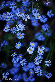 ~~Blue Stars by Paul Marcellini~~