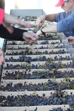 Sorting Cabernet grapes before crush and destemming.