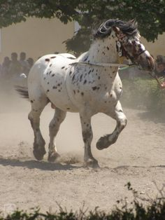 Le Norique - Un Norique au trot All The Pretty Horses, Beautiful Horses, Animals Beautiful, Cute Animals, Animals Amazing, Leopard Appaloosa, Appaloosa Horses, Noriker Horse, Horse Facts