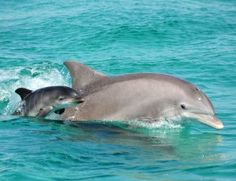 Dolphins are highly intelligent marine mammals and are part of the family of toothed whales that includes orcas and pilot whales. They are found worldwide, mostly in shallow seas of the continental. Cute Baby Animals, Animals And Pets, Strange Animals, Wild Animals, The Ocean, Baby Dolphins, Florida Dolphins, Bottlenose Dolphin, Whales