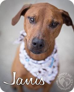 Newport, KY - Rhodesian Ridgeback Mix. Meet Janis a Dog for Adoption.