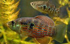 Jordanella floridae - american flag fish