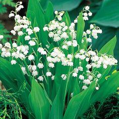 Shade Perennials: Lily-of-the-Valley (Convallaria majalis)