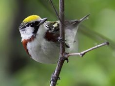 Chestnut-sided Warbler, Tropical Birding