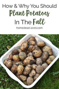 Fall Vegetable Gardening How to plant potatoes in the fall. Tips for fall planting potatoes for a great summer harvest. Homestead Farm, Homestead Gardens, Farm Gardens, Gardening For Beginners, Gardening Tips, Bucket Gardening, Planting Potatoes, How To Plant Potatoes, Grow Potatoes