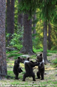 A family of baby brown bears appear to be dancing.  Reminds me of a song about bears going on a picnic.