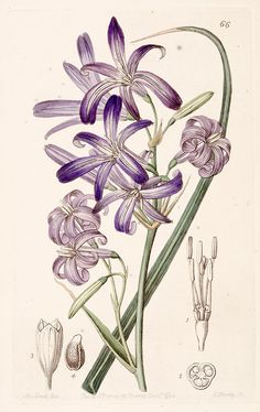 Lavender mountain lily, Lily-of-the-Altai (1844)