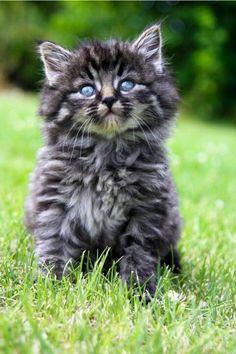 Part cat part Bob cat kitten! By Amber Eileen