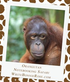 Notebooking Safari - Malaysia and the Orangutan. our next animal is an arboreal primate, which just means that it is a primate that spends most of its time in trees. I want you to see an orangutan. Make sure you bring your binoculars like you did last week, but the orangutans are much bigger than the proboscis monkeys. Male orangutans can grow to be over four feet tall and weigh more than 280 pounds!