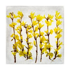 forsythia Wall Art Prints by Qing Ji | Minted, minted,  holiday gifts, holiday gift ideas,  art, artwork, photography art, photography, art photography,art prints, art prints, minted artwork,minted art prints,home decor, decor wall, holiday, wall decor, 2 Christmas,  Christmas, gift arts,  floral, botanical, flowers, spring, Forsythia