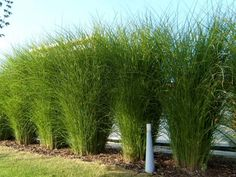 Miskant chinski Sarabande Miscanthus Sinensis Gracillimus, Privacy Hedge, Ornamental Grasses, Plant Wall, Impreza, Hedges, Backyard Landscaping, Gardening Tips, Cottage