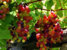 Rainbow Grapes. Véraison is a grape-growing term representing the color changes that occur as the fruit transitions from growth to ripening.