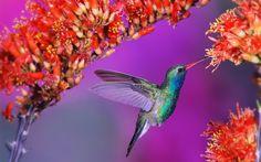 humming birds wallpapers and backgrounds | HummingBird Desktop Wallpaper