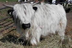 Our Little Acres specializes in Mini Cows for sale. We breed and sell miniature Highland cows and Fainting Goats in Wisconsin. Featuring Micro Mini cows for sale. Baby Farm Animals, Baby Cows, Cute Little Animals, Cute Funny Animals, Baby Elephants, Wild Animals, Miniature Cow Breeds, Miniature Cattle, Cute Baby Cow