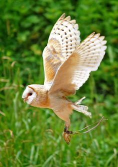 Barn Owl - Gloucestershire (by WiltshireYan)