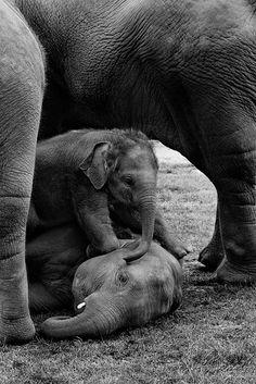 elephants - Precious Pachy Family