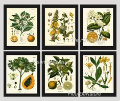 BOTANICAL Print SET of 6 Art Prints 8X10 Kohler Fruit Citrus Orange Lime Papaya Dandelion Flower Chart Tropical Summer Plant Home Decor