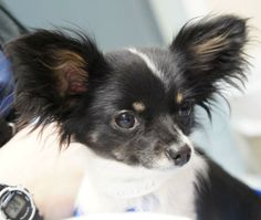 Feather is a tiny (4 lb) female papillon or maybe a papillon/long haired chihuahua mix. She is 2 years old and very sweet and outgoing. She loves people and being held. This is really a rarely little treasure. So sweet and cute. She is...