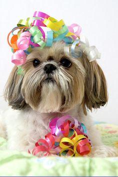 Shih Tzu Dog Photograph  - Shih Tzu Dog Fine Art Print