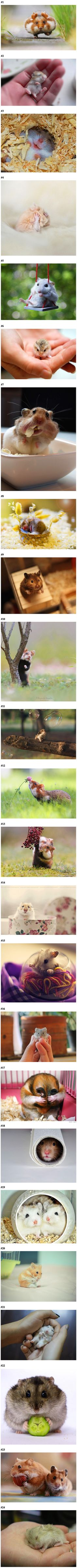 Photographers capture 20 images that show the cutest hamster pics! Super Cute Animals, Cute Little Animals, Cute Funny Animals, Funny Animal Pictures, Cute Pictures, Animal Pics, Cute Creatures, Beautiful Creatures, Animals Beautiful