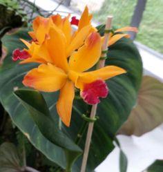 Orquídea  - Jardim Botânico- Rio de Janeiro- Foto: Marília Vidigal Carneiro
