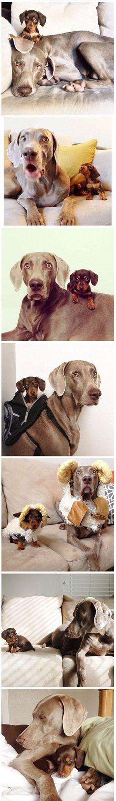 cute dog couch costume Weimeraner Dachshund friends